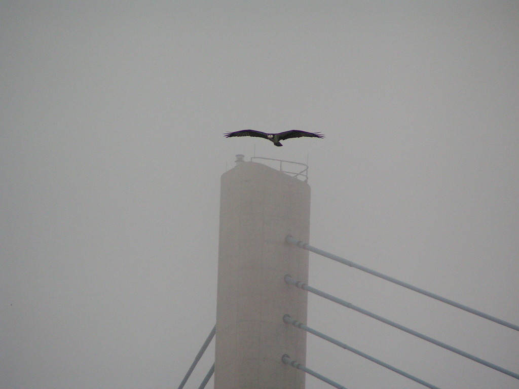 osprey, indian river inlet, charles w cullen bridge, indian river inlet bridge, iri, raptors, birds of prey