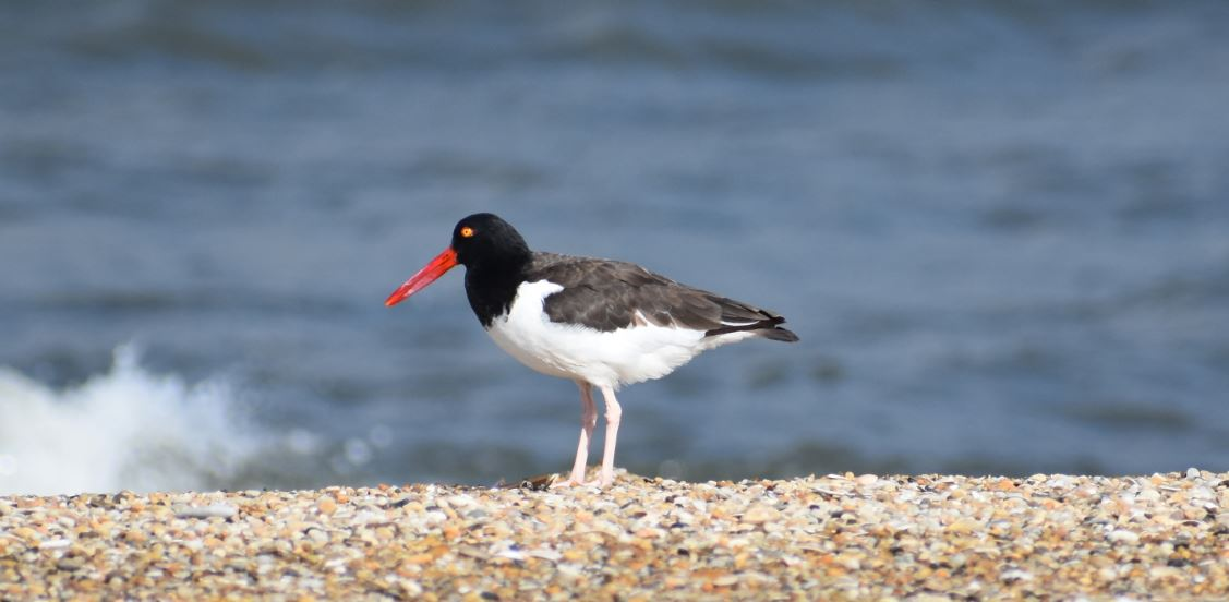 american oyster catcher, lewes, delaware, sussex county, migratory birds, bird watching, cape henlopen state park, cape may lewes ferry, outer wall, inner wall, harbor of refuge light, lighthouse
